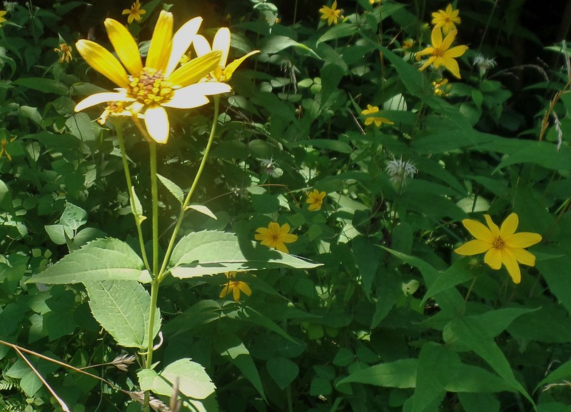 left Thin-leaved Sunflower (Helianthus decapetalus); right Woodland Sunflower (Helianthus divaricatus)