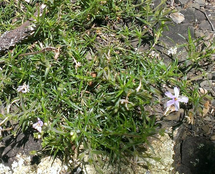 Wild Pink (Silene caroliniana)