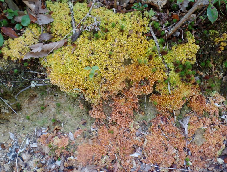 Peat Moss (Sphagnum section Subsecunda)