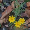 Tickseed Sunflower (Bidens aristosa)