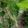 Frost Grape (Vitis vulpina)
