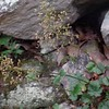 Alumroot (Heuchera americana)