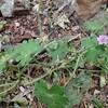 Dove's-foot Cranesbill (Geranium molle)