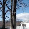 Kentucky Coffee-tree (Gymnocladus dioicus)
