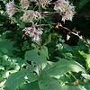 Sweet-scented Joe-pye-weed (Eutrochium purpureum)