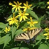 Tiger Swallowtail butterfly (Pterourus glaucus) on Pale-leaved Sunflower (Helianthus strumosus)