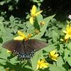 Spicebush Swallowtail butterfly (Pterourus troilus) on Pale-leaved Sunflower (Helianthus strumosus)