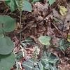 Downy Rattlesnake-plantain orchid (Goodyera pubescens)