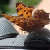 Comma butterfly (Polygonia c-album) on Sybille's pack