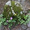 Northern Swamp Buttercup  (Ranunculus caricetorum)