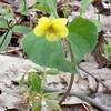 Yellow Violet (Viola pensylvanica)