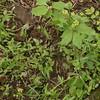 Hooked Crowfoot (Ranunculus recurvatus)