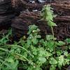 Common Dandelion (Taraxacum officinale) and Purple Dead-nettle (Lamium purpureum)
