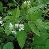 Sweet Cicely (Osmorhiza claytoni)