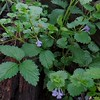 Gill-over-the-ground aka Ground-ivy (Glechoma hederacea)
