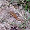 Eastern Newt (Notophthalmus viridescens)