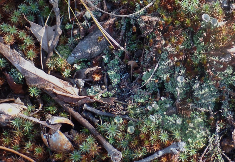 Hairy-cap Moss (Polytrichum) and Pixie-cup lichen (Cladonia asahinae)