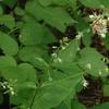 Enchanter's Night-shade (Circaea canadensis)