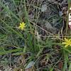 Yellow Stargrass (Hypoxis hirsuta)
