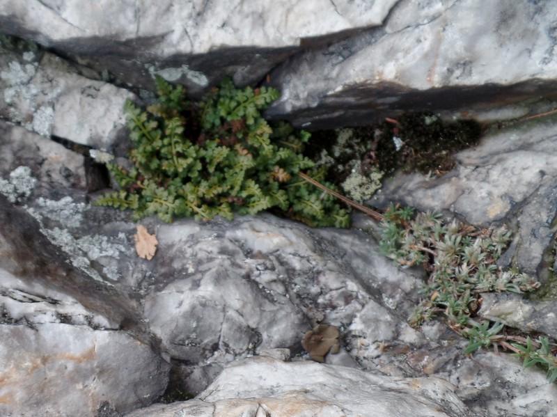 Mountain Spleenwort fern (Asplenium montanum) and Silvery Nailwort (Paronychia argyrocoma)