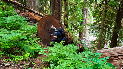 Amazingly huge log cut off the trail - East Fork Quinault River trail - the rootball end of it is just barely visible in the lower right hand corner of the photo
