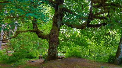 Huge Maple tree at O'Neil Camp - East Fork Quinalt River