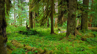 Huge trees everywhere on the East Fork Quinault River trail