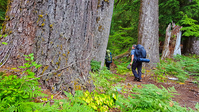 Hiking amongst the giant trees - East Fork Quinault River trail