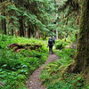 Hiking thru the giants on the East Fork Quinault River trail