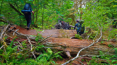 """Some of the large blowdown you have to go thru on the quarter mile """"re-route"""" - on the East Fork Quinault River trail"""