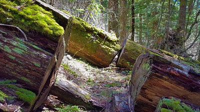 This big log slid down and blocked the trail - it is somewhat difficult to get over now