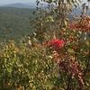American Mountain-ash (Sorbus americana)