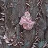 Coral-pink Merulius fungus (Merulius incarnatus)