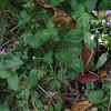 Wild Basil (Clinopodium vulgare) and  Heal-all (Prunella vulgaris)