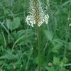 English Plantain (Plantago lanceolata)