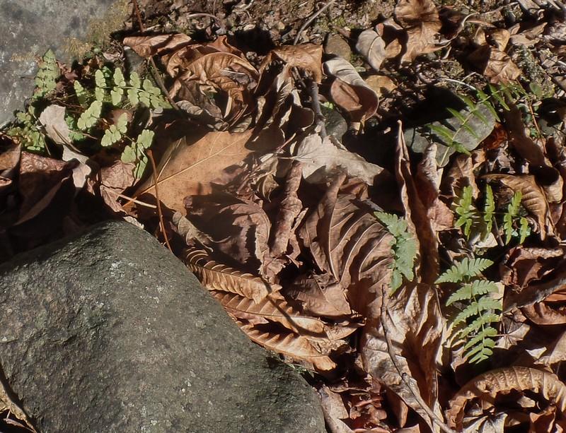 Fragile Fern (Cystopteris tenuis) and Marginal wood Fern (Dryopteris marginalis)