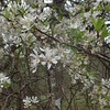 Downy Serviceberry (Amelanchier arborea)