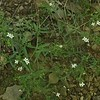 Longleaf Bluets (Houstonia longifolia)