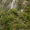 Pitch Pine (Pinus rigida)