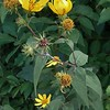 Woodland Sunflower (Helianthus divaricatus)