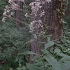 Hollow Joe-pye-weed (Eutrochium fistulosum)