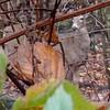 White Tail Deer  (Odocoileus virginianus)