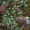 Pixie Cup lichen (Cladonia asahinae) and Haircap moss (Polytrichum)