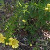 Smooth Yellow False Foxglove (Aureolaria flava)