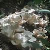 Oyster Mushroom (Pleurotus ostreatus) log 2