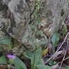 Silverod (Solidago bicolor)