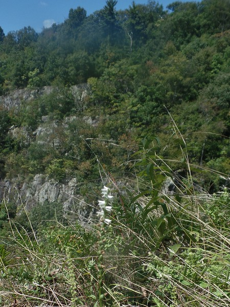 Slender Ladies'-tresses orchid (Spiranthes lacera)