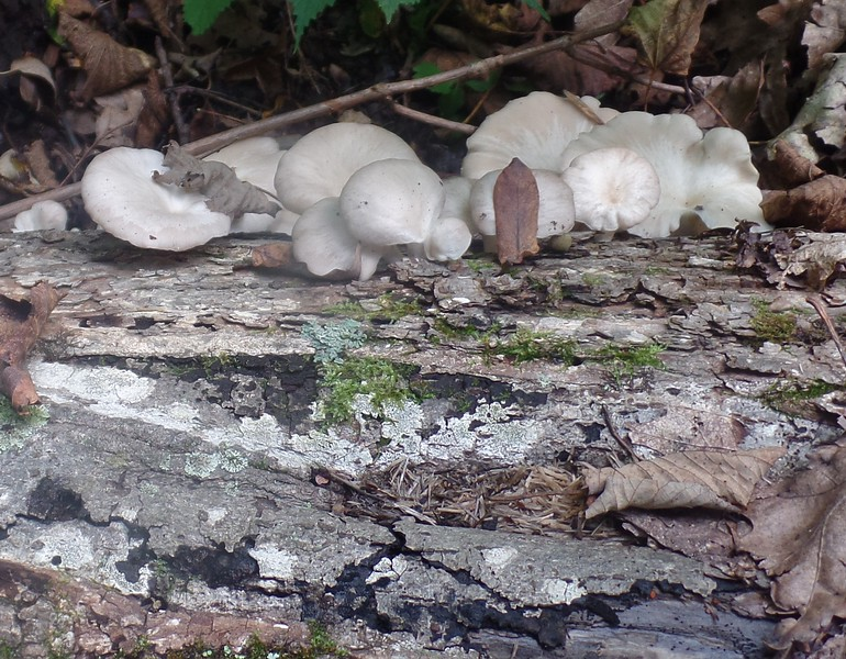 Oyster Mushroom (Pleurotus ostreatus) first log
