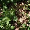 Tall Hairy Agrimony (Agrimonia gryposepala)