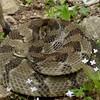 Timber Rattlesnake (Crotalus horridus)